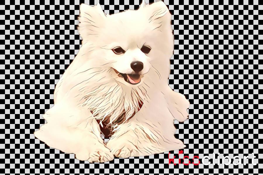 dog white volpino italiano pomeranian japanese spitz