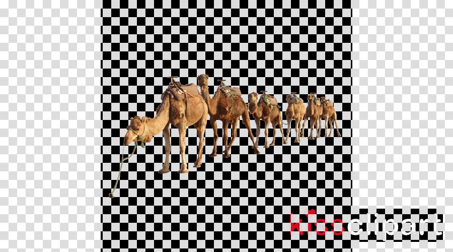 camel camelid arabian camel herd wildlife