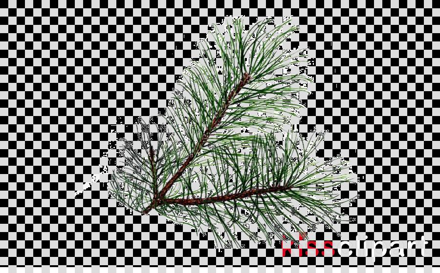 white pine columbian spruce jack pine yellow fir red pine