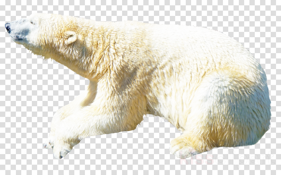 polar bear bear polar bear fur wildlife