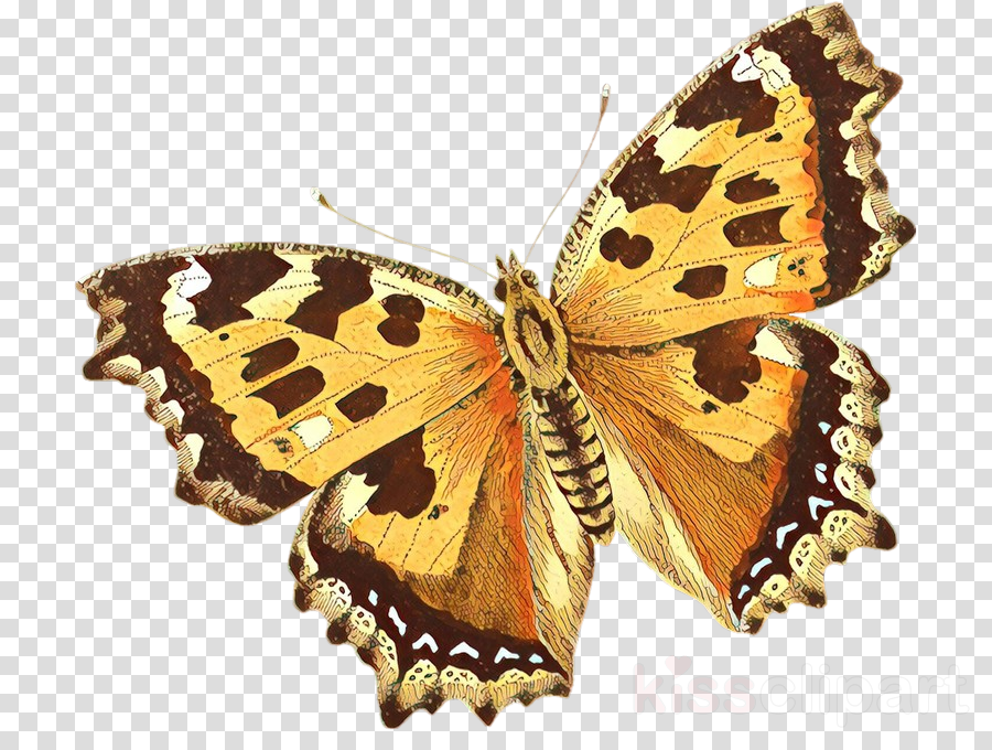 moths and butterflies butterfly cynthia (subgenus) insect brush-footed butterfly