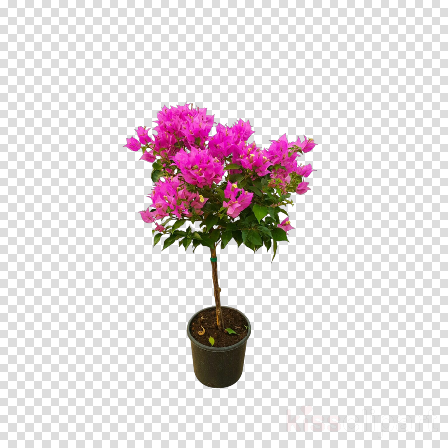 flower plant tree rhododendron catawbiense woody plant