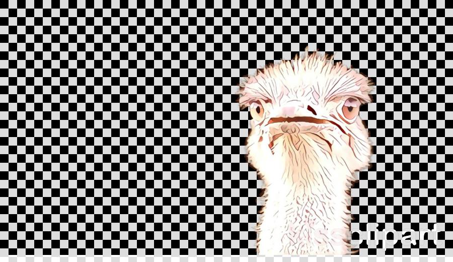 bird ostrich flightless bird beak ratite