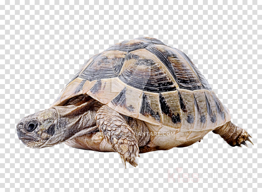tortoise turtle reptile pond turtle sea turtle