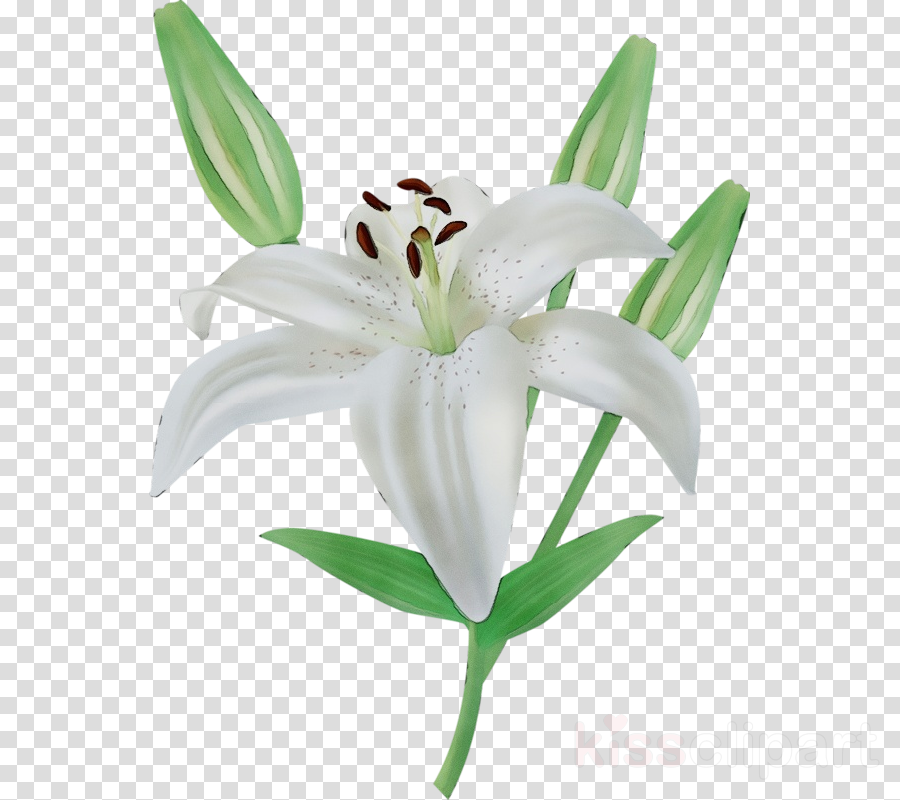 flower lily white plant petal