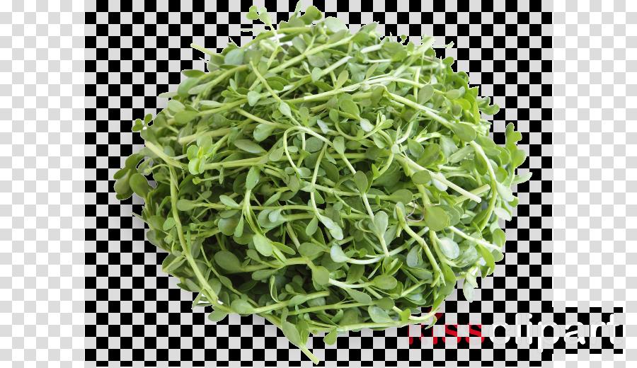 plant alfalfa sprouts leaf grass crop