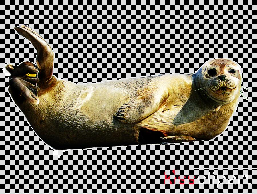 california sea lion harbor seal seal earless seal three-toed sloth
