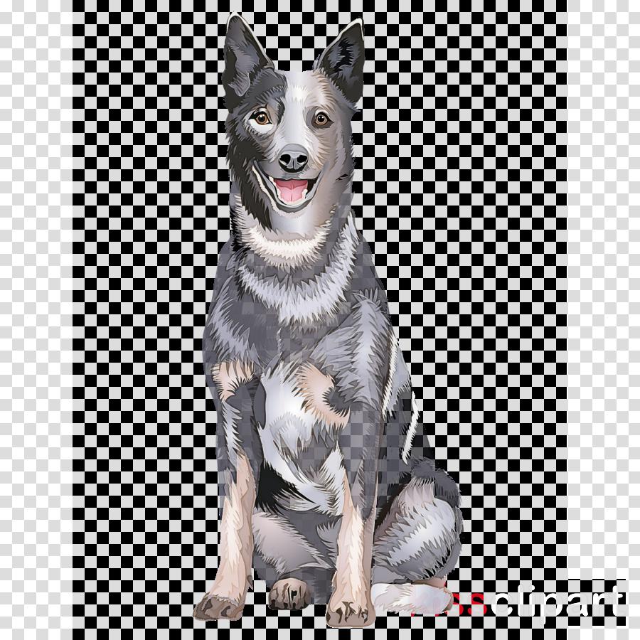 dog australian cattle dog working dog rare breed (dog) swedish vallhund