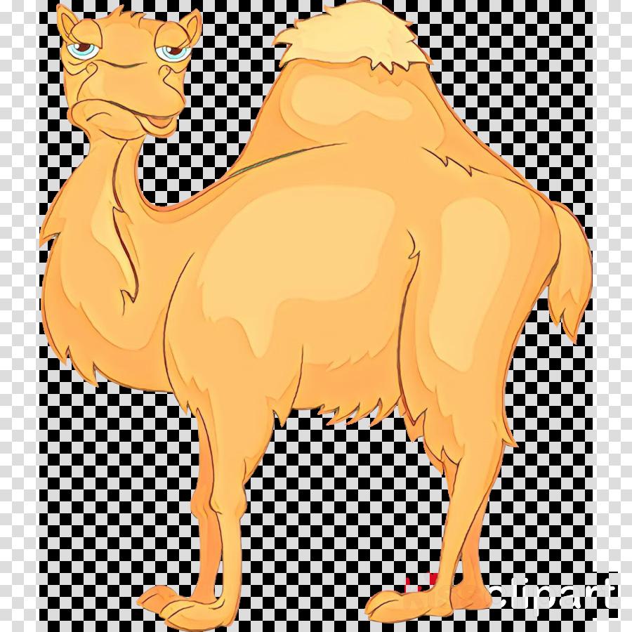 camel camelid arabian camel cartoon bactrian camel