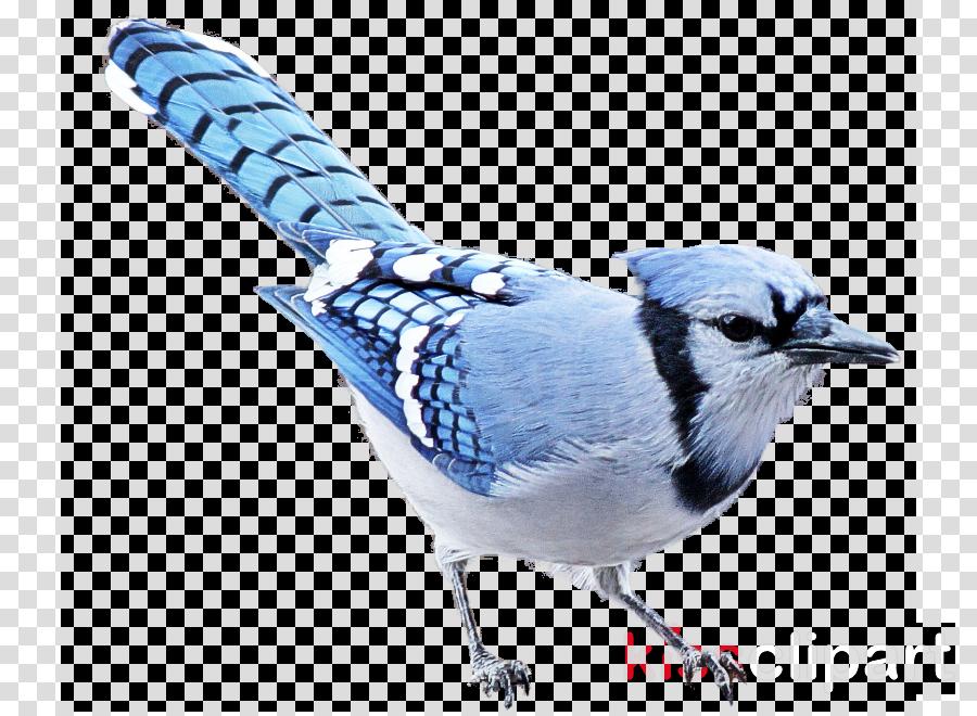 bird blue jay jay blue beak