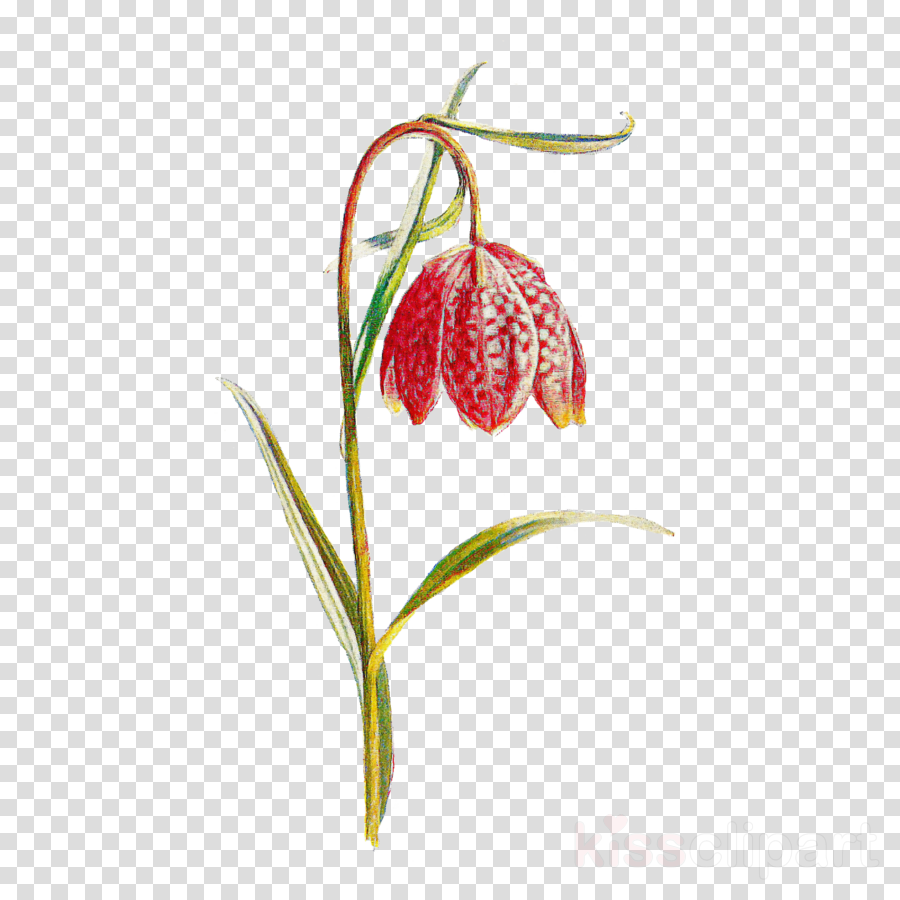 flower snake's head plant fritillaria lily family