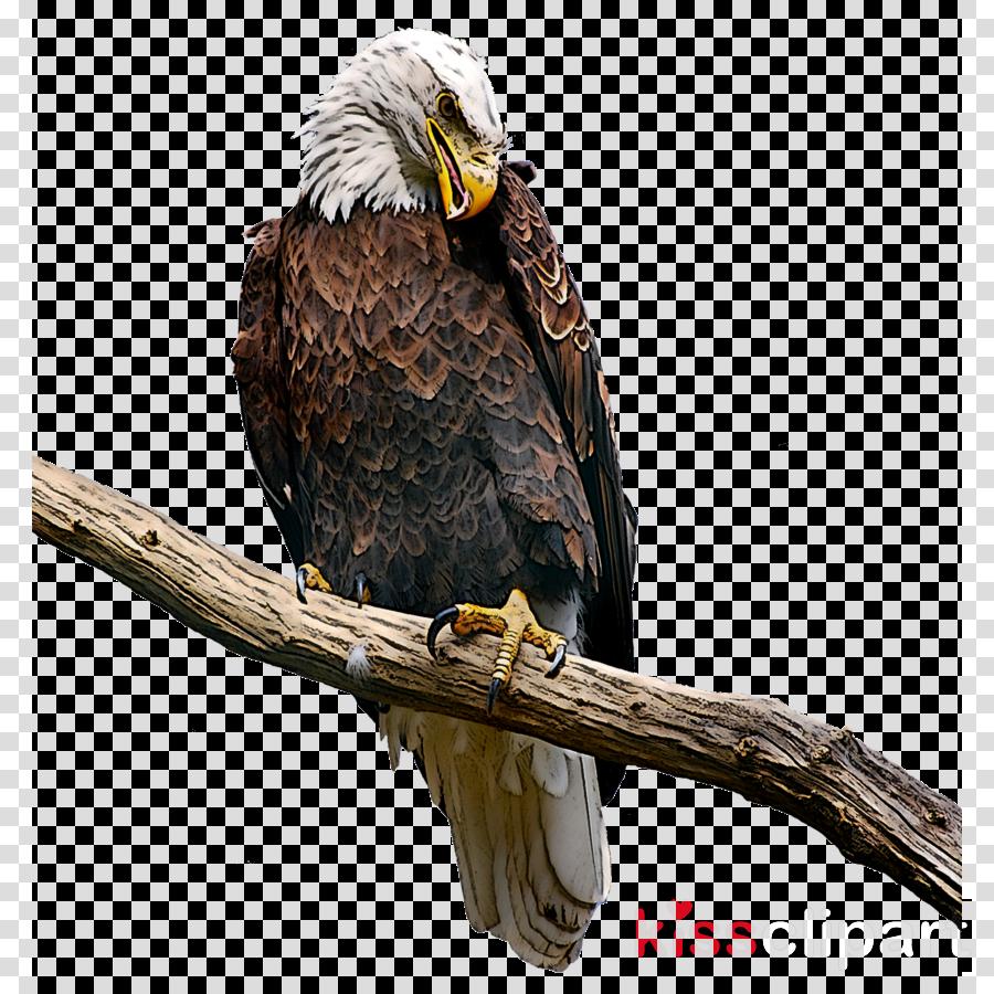 bird bird of prey eagle bald eagle beak