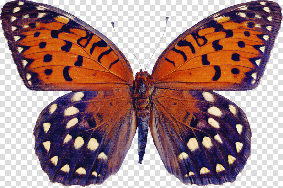 moths and butterflies butterfly insect brush-footed butterfly lycaena