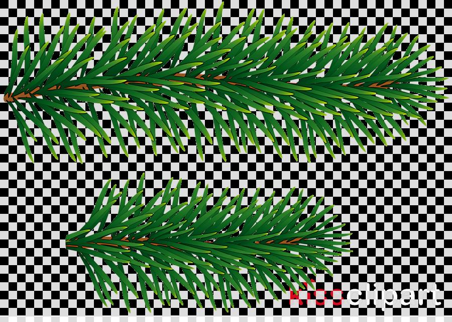 shortleaf black spruce columbian spruce balsam fir yellow fir white pine
