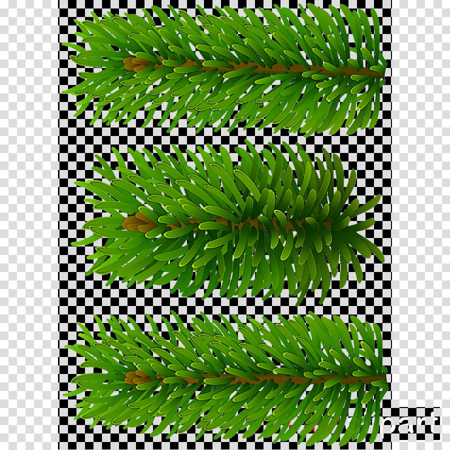 shortleaf black spruce columbian spruce yellow fir oregon pine canadian fir