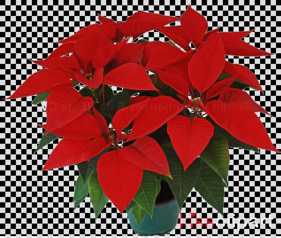 flower poinsettia red plant leaf
