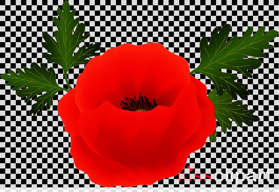 flower oriental poppy red plant petal