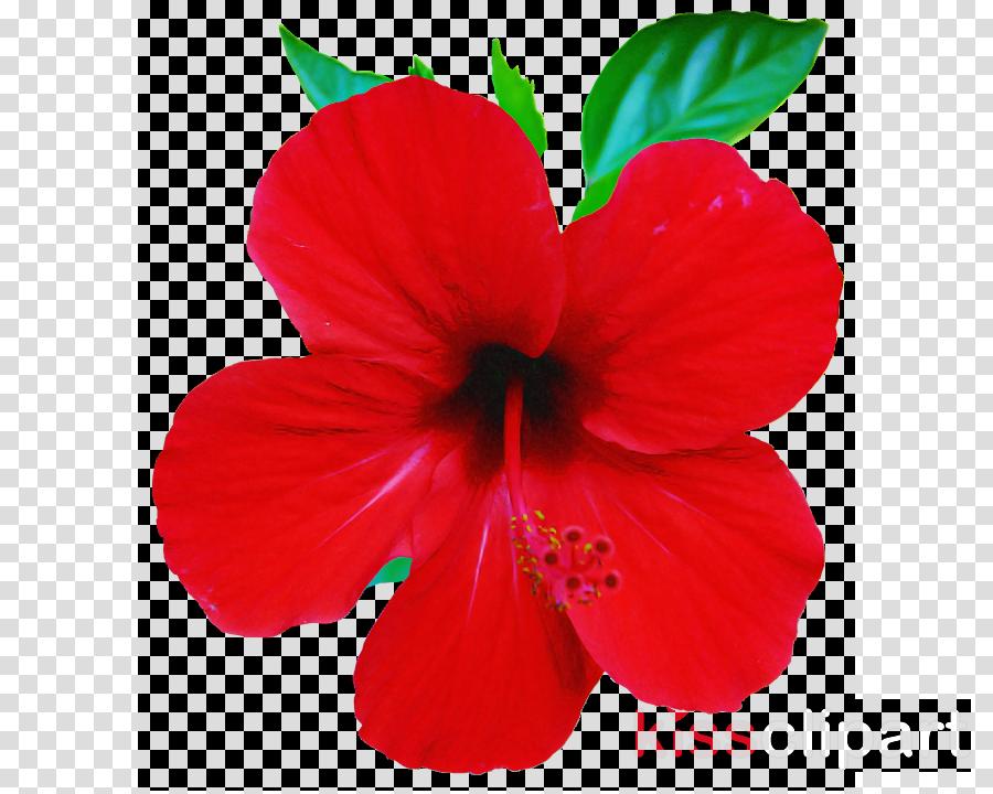 flower petal hibiscus red hawaiian hibiscus