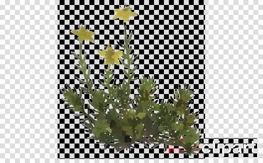 flower plant american larch lodgepole pine goldmoss stonecrop
