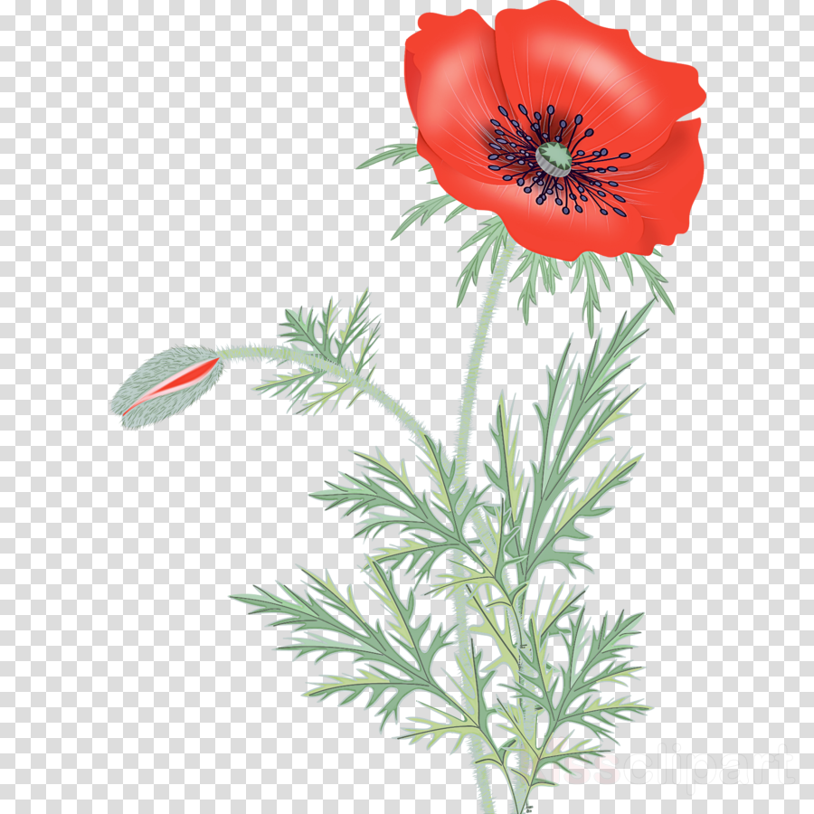flower plant oriental poppy pheasant's-eye coquelicot