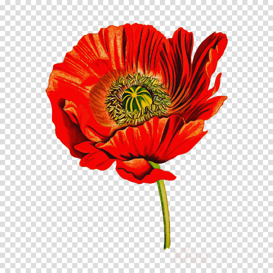 flower barberton daisy plant petal red
