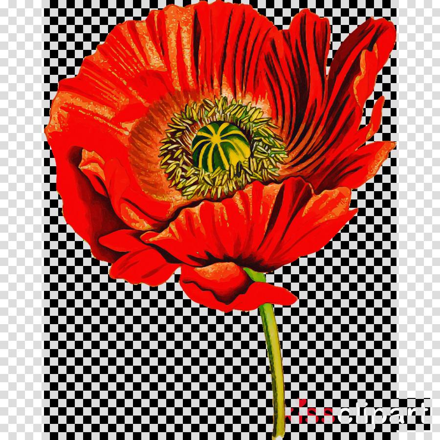 flower plant oriental poppy petal barberton daisy