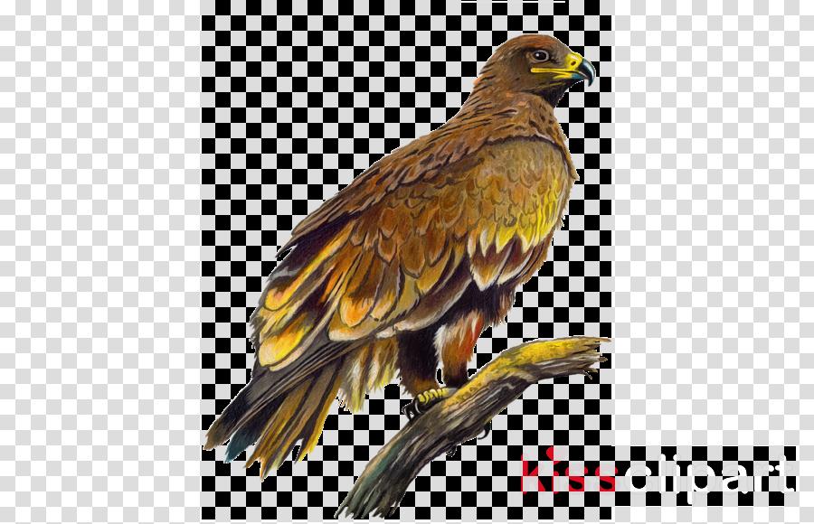 bird bird of prey golden eagle eagle accipitridae
