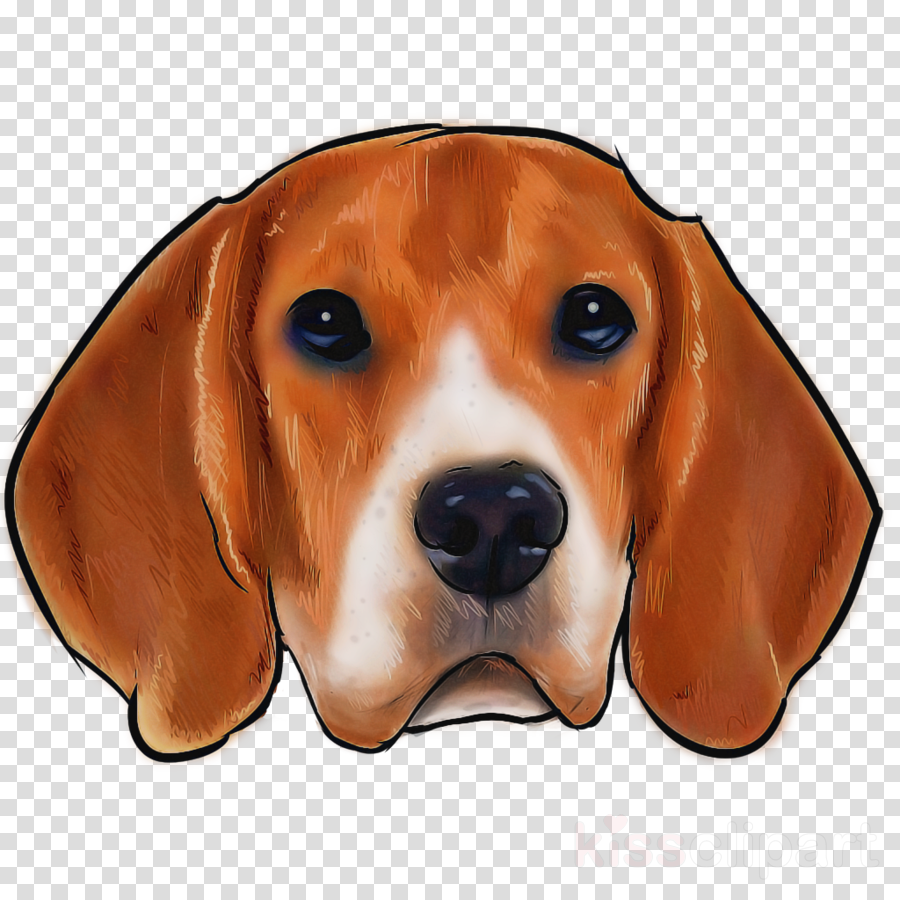 dog beagle english foxhound beagle-harrier nose