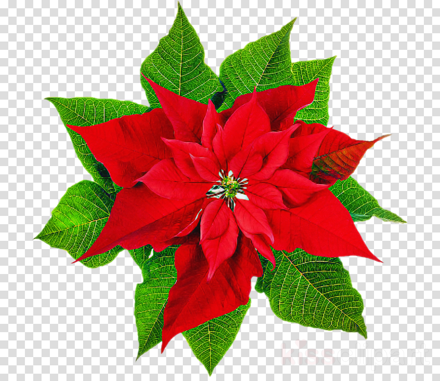 flower poinsettia red plant petal
