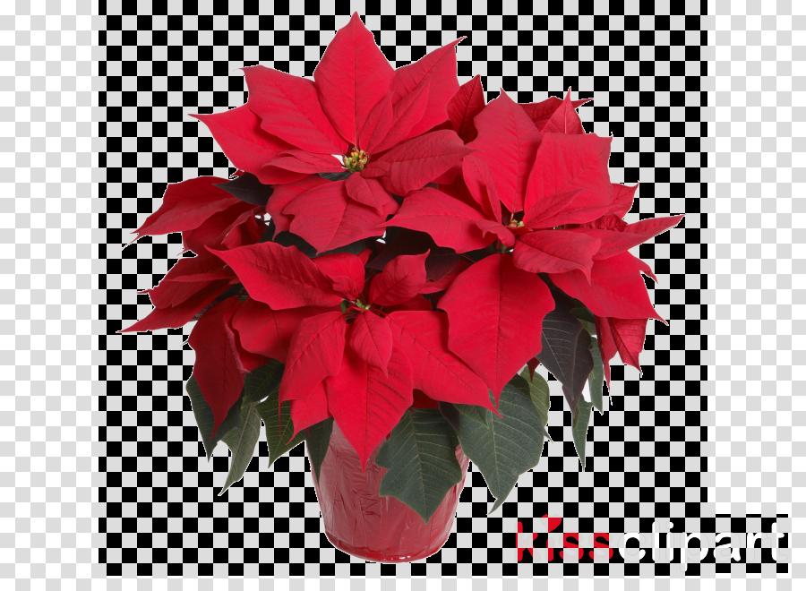 flower poinsettia red plant petal