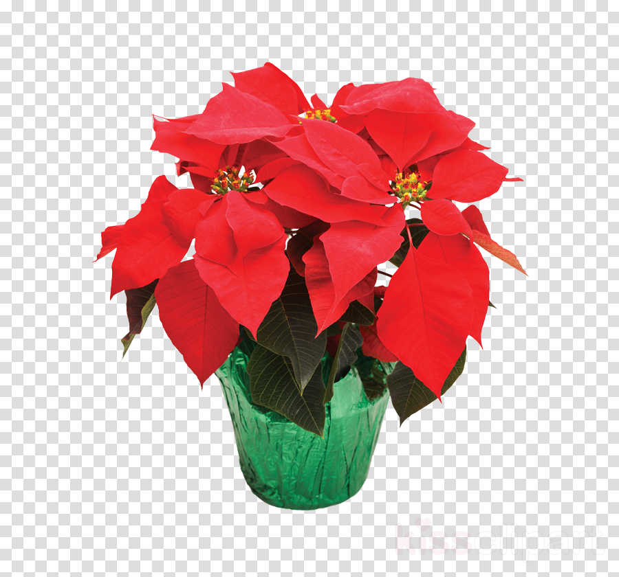 flower red poinsettia plant petal