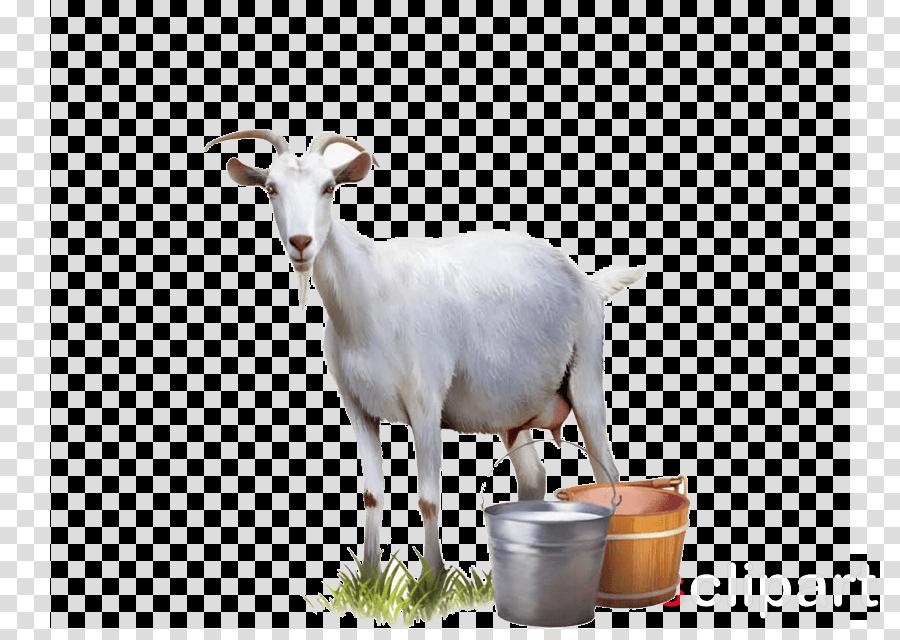 goats goat cow-goat family goat-antelope livestock