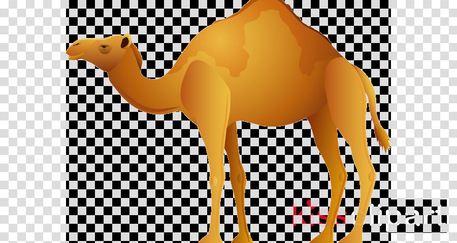 camel camelid arabian camel bactrian camel yellow