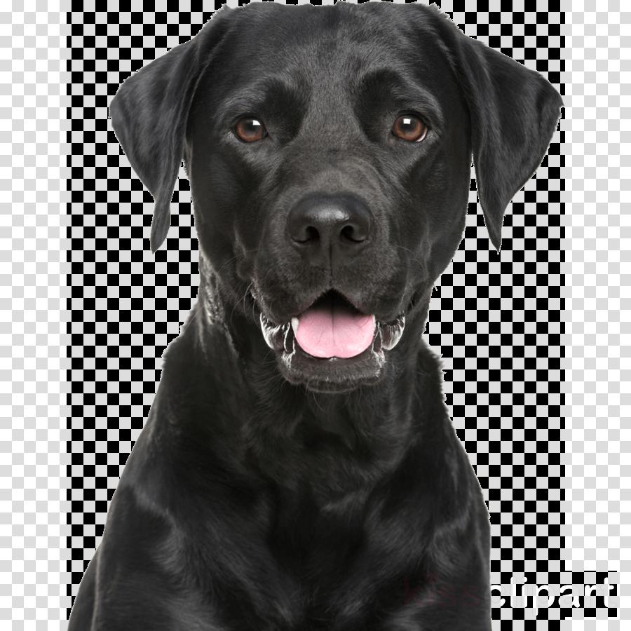 dog labrador retriever sporting group retriever snout