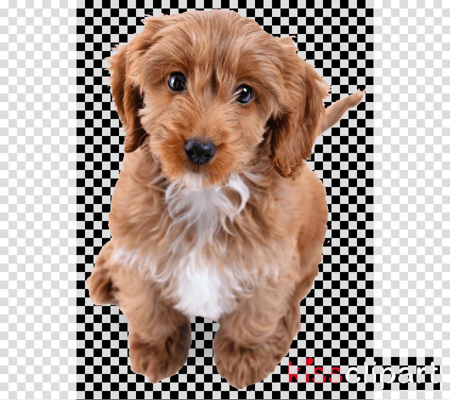 dog puppy cockapoo companion dog cavapoo