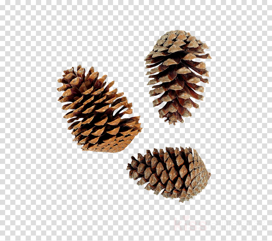 sugar pine white pine oregon pine red pine sitka spruce