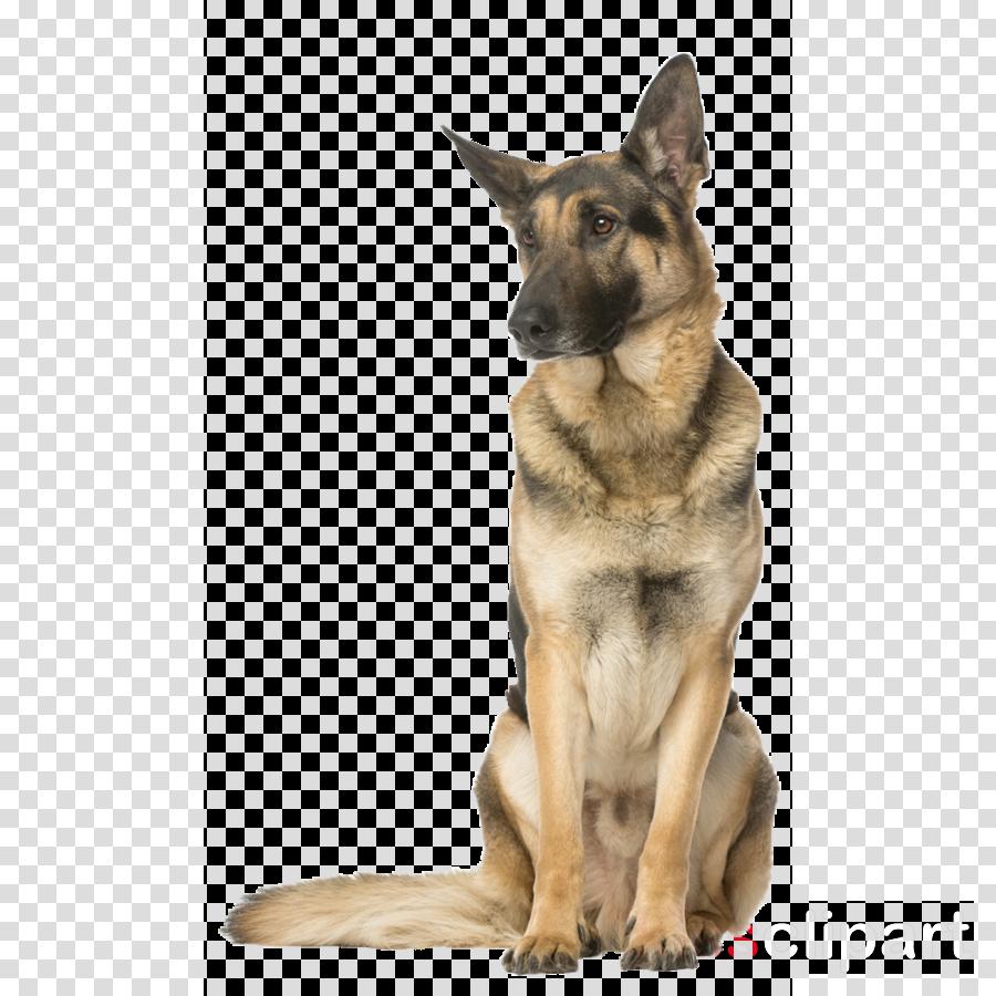 dog german shepherd dog king shepherd kunming wolfdog old german shepherd dog