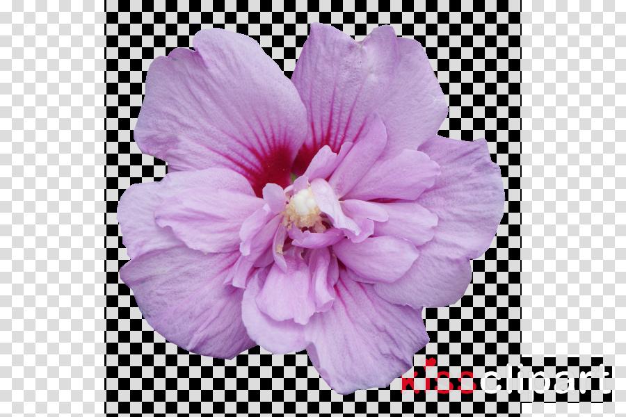petal flower pink plant purple