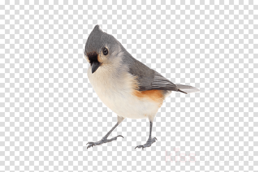 bird tufted titmouse beak perching bird songbird