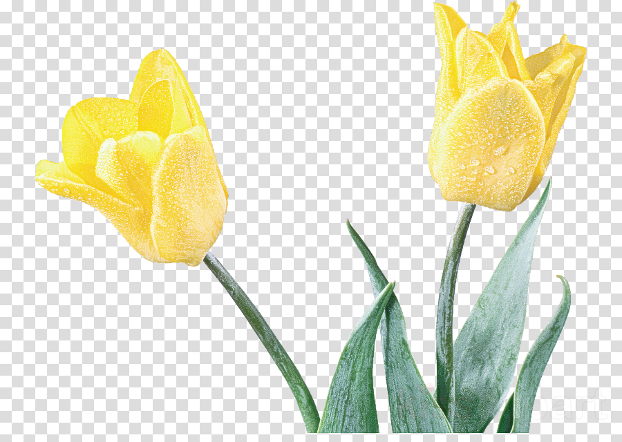 tulip flower yellow plant petal