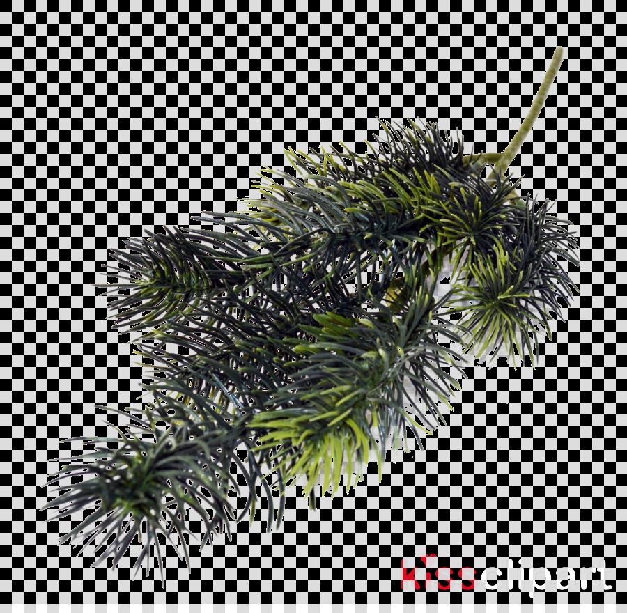 oregon pine lodgepole pine plant tree jack pine