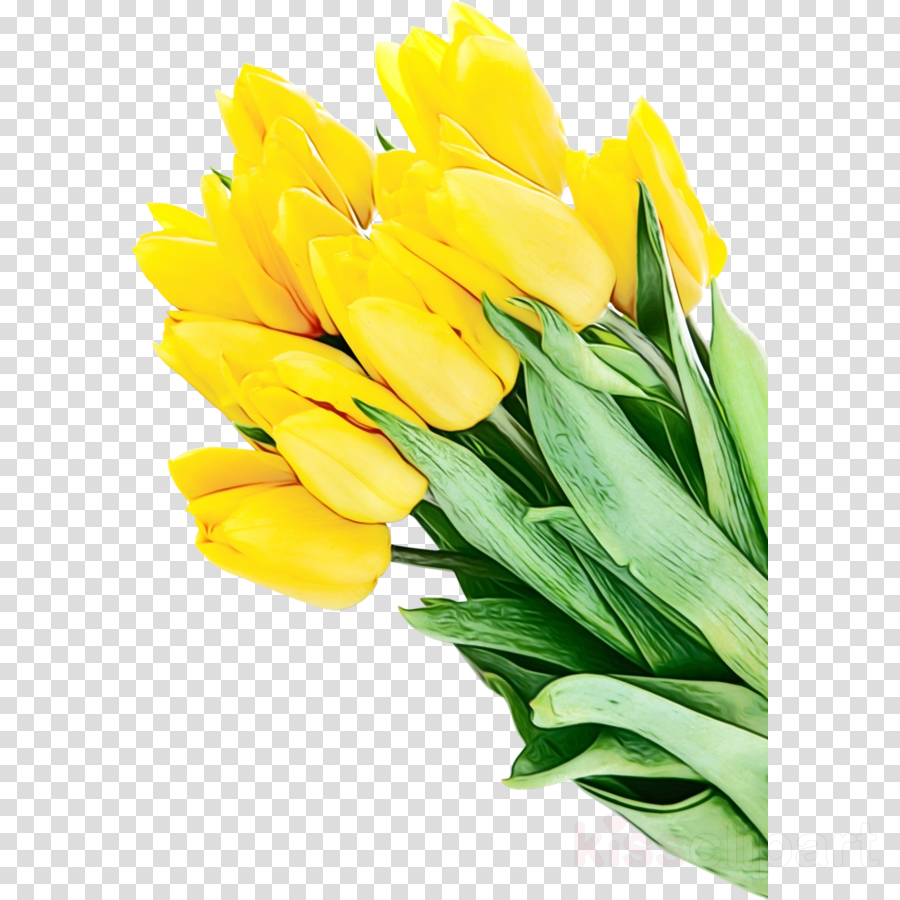 yellow flower tulip plant cut flowers