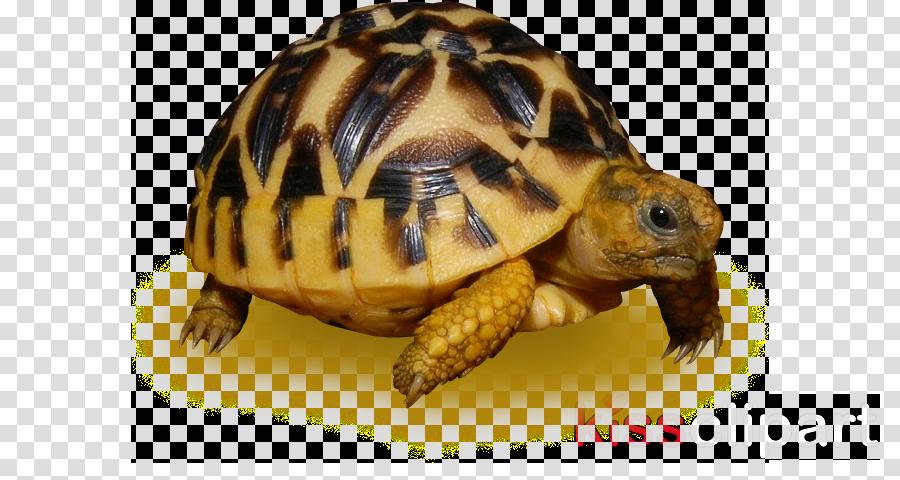 tortoise turtle reptile pond turtle box turtle