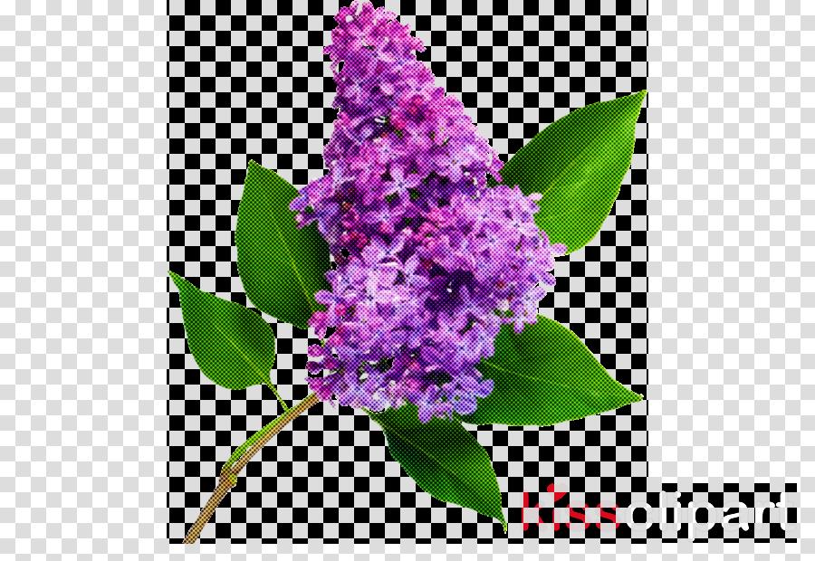 flower lilac violet purple plant