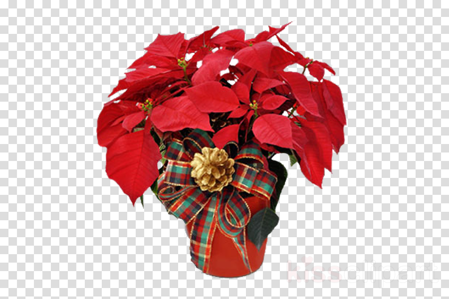 flower poinsettia red plant cut flowers