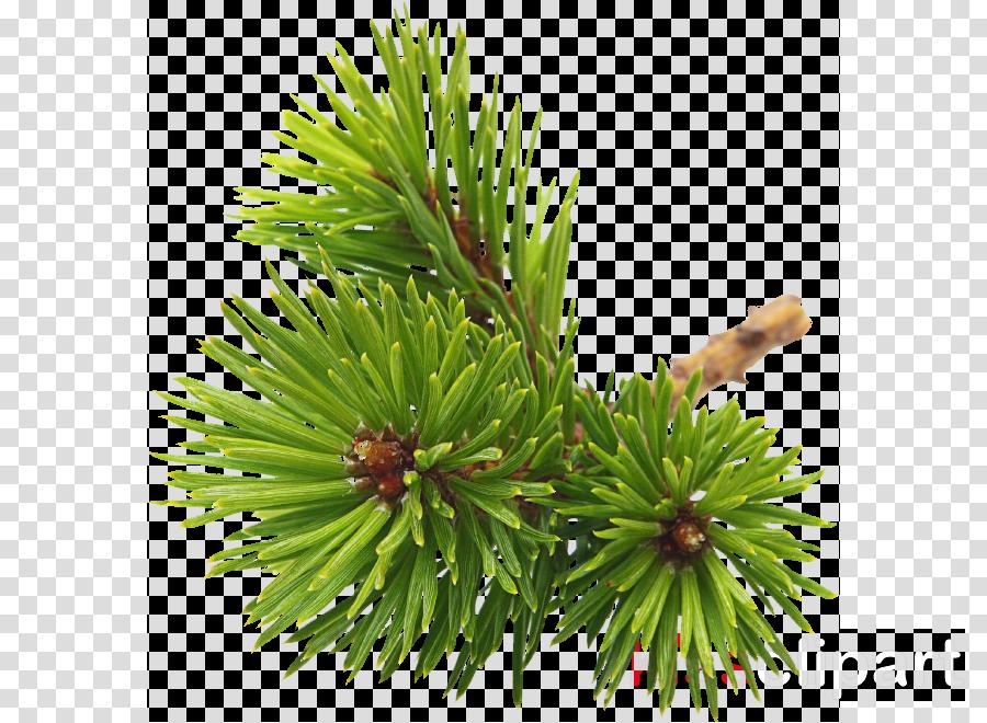 shortleaf black spruce columbian spruce balsam fir jack pine loblolly pine