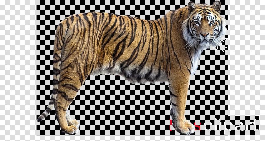 tiger bengal tiger wildlife siberian tiger animal figure