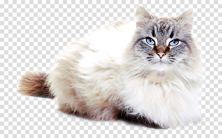 cat small to medium-sized cats domestic long-haired cat whiskers asian semi-longhair