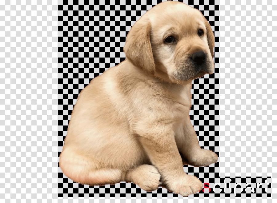 dog puppy retriever golden retriever labrador retriever