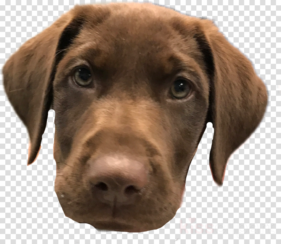 dog labrador retriever vizsla nose retriever